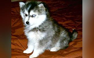 miniature-husky