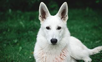 white-german-shepherd