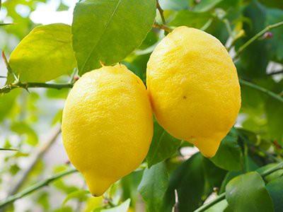 dogs-eat-lemons