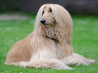 afghan-hound-dog-grooming