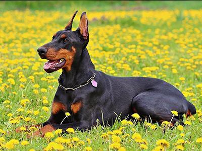 doberman-pinscher-dog-grooming
