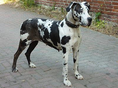 great-dane-dog-grooming