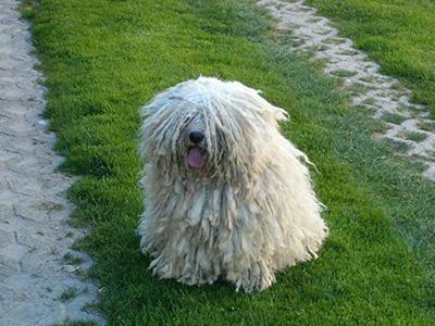 puli-dog-grooming