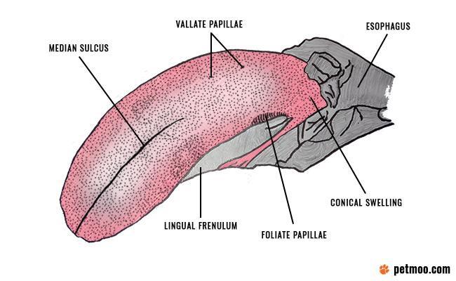 dog-tongue-anatomy