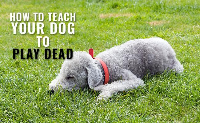 how-to-teach-your-dog-to-play-dead