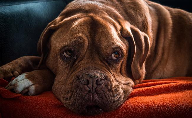 dogue-de-bordeaux-temperament