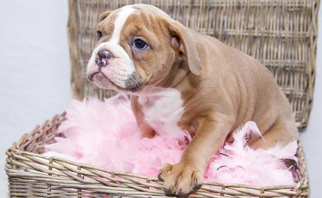 english-bull-dog-puppies