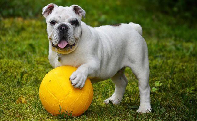 english-bulldog-temperament