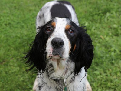 english-setter-deafness