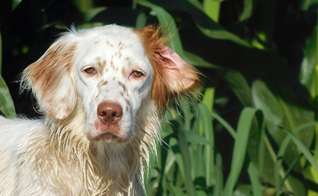 facts-english-setter