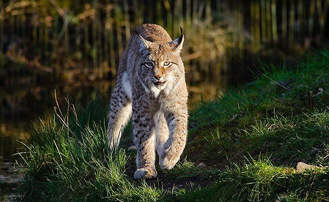 bobcat-exotic-cats