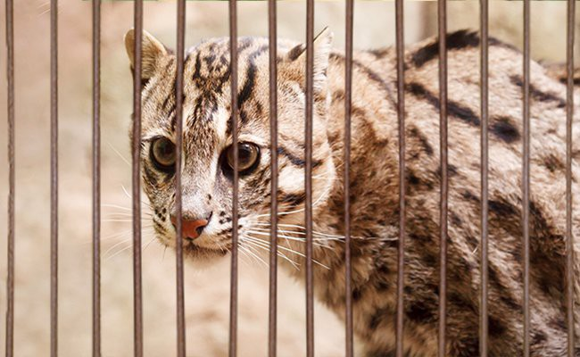 general-rules-to-have-exotic-cats-as-pets-exotic-cats