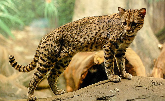 geoffroys-cat-exotic-cats