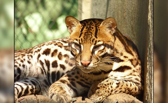 ocelot-exotic-cats