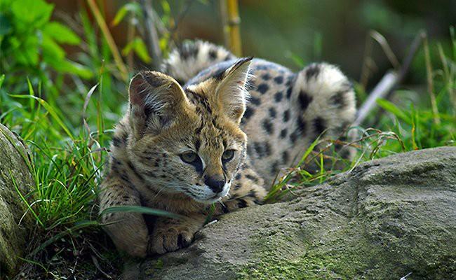 servals-exotic-cats