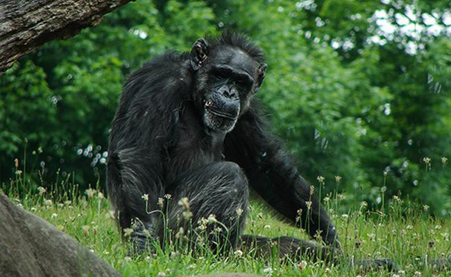 chimpanzee-exotic-pets