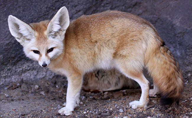 fennec-fox-exotic-pets