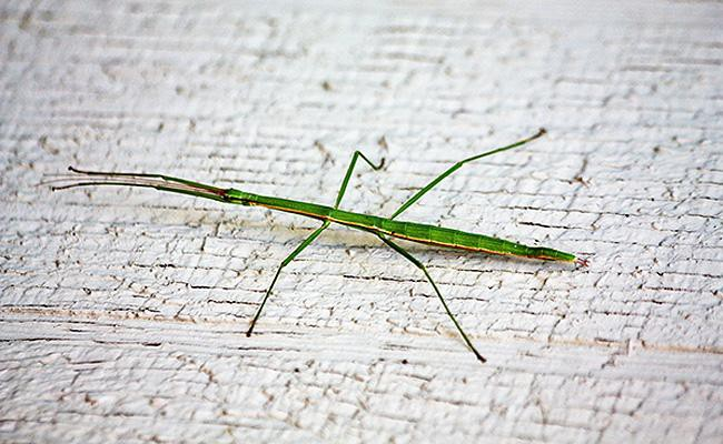 stick-insect-exotic-pets