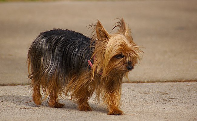teacup-yorkie-size-weight