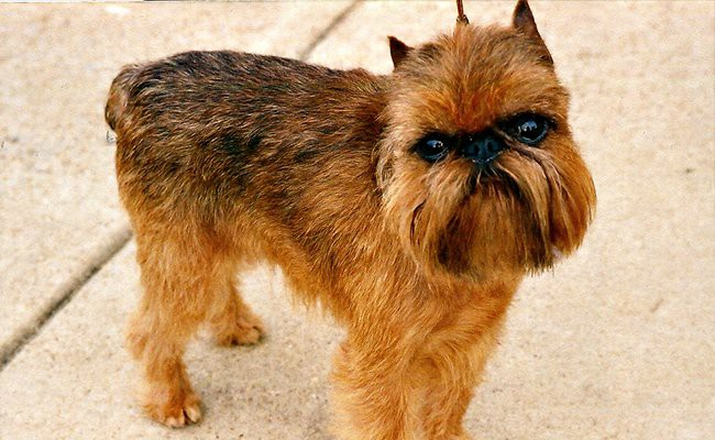 brussel-griffon-family-dogs