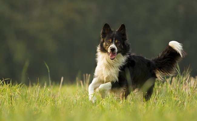 collie-family-dogs