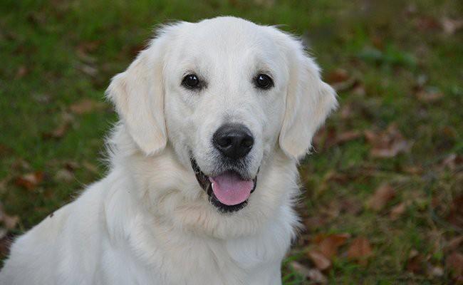 golden-retriever-family-dogs
