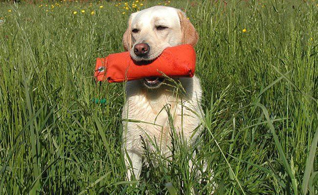 labrador-retriever-family-dogs