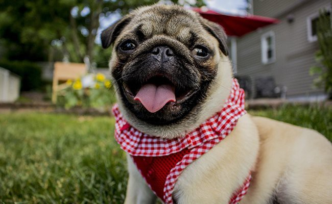 pug-family-dogs