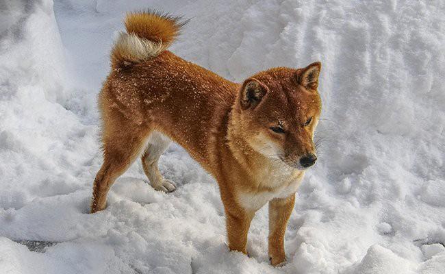 shihbu-inu-family-dogs