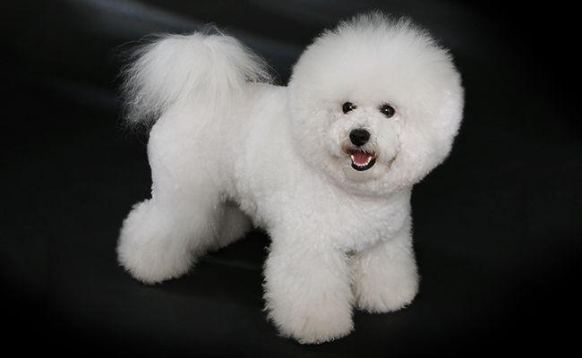 bichon-frise-fluffy-dogs