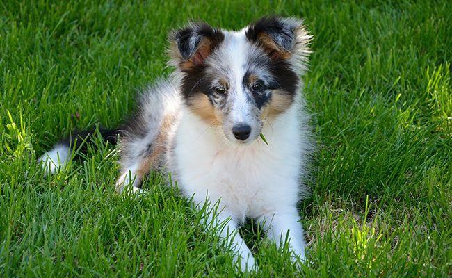 shetland-sheepdogs-fluffy-dogs