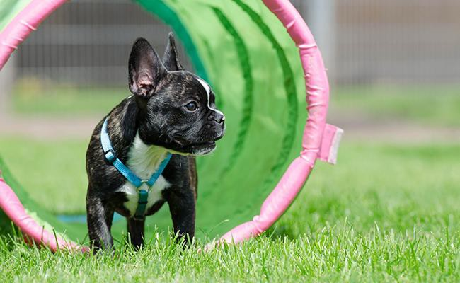 french-bulldog-training