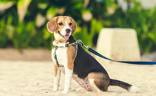 beagle-fun-dog-breed