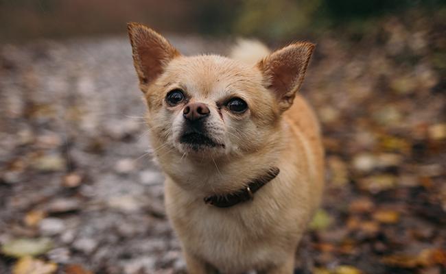 chihuahua-fun-dog-breed