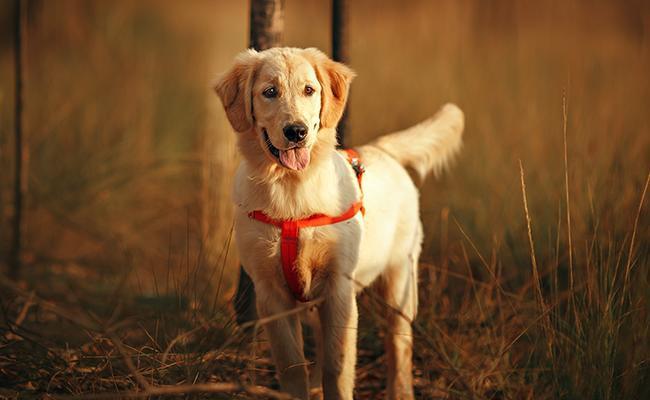 golden-retriever-fun-dog-breed