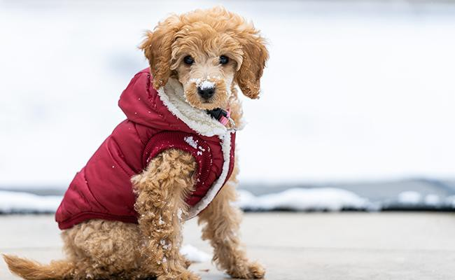 poodles-fun-dog-breed