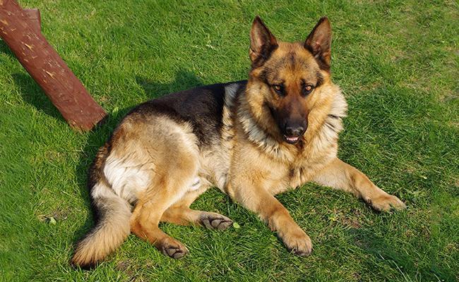 german-shepherd-size-weight