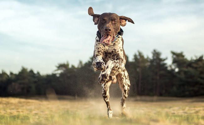 german-shorthaired-pointer-interesting-facts