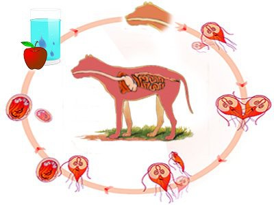 how-giardia-spreads-in-dogs