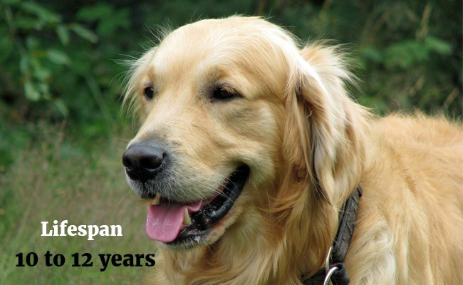 golden retriever lifespan golden retriever puppies must know facts and traits petmoo 9412