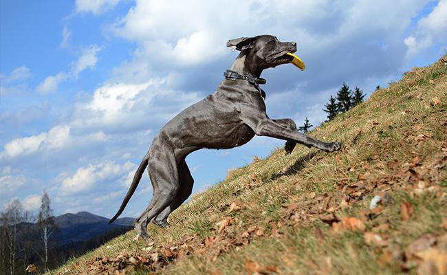 interesting-facts-about-great-dane