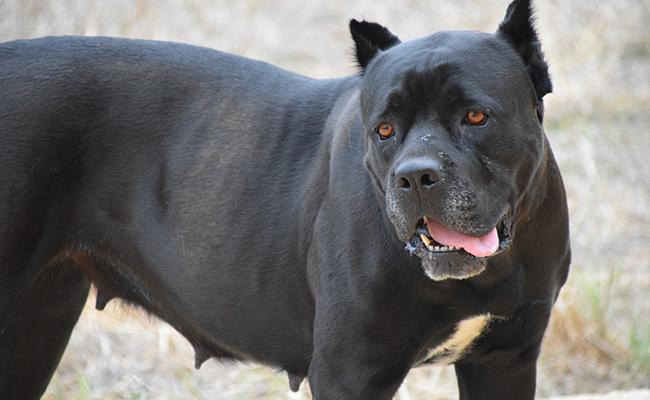 cane-corso-guard-dogs