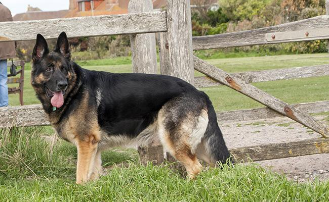 german-shepherd-guard-dogs