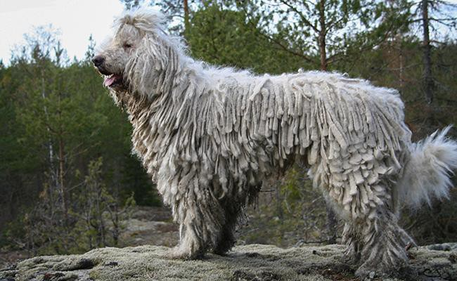 komondor-guard-dogs
