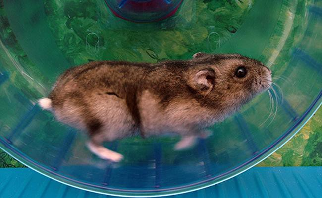 fun-facts-about-hamster