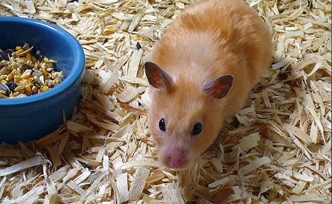 hamster-bedding