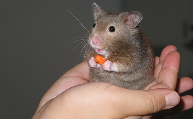 hamster-care