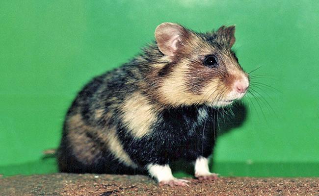 hamster-life-span