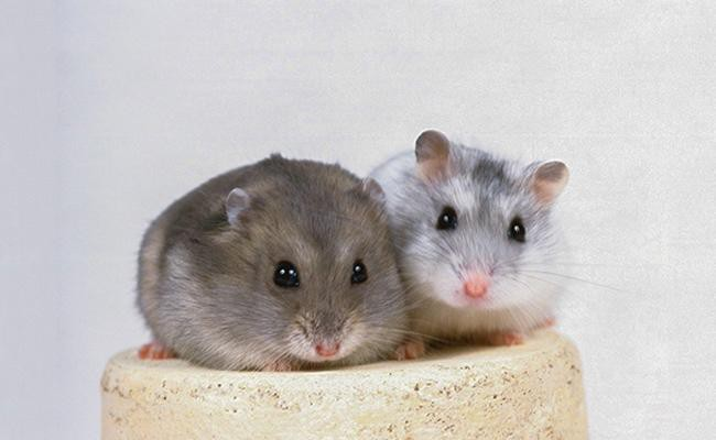 types-of-hamsters