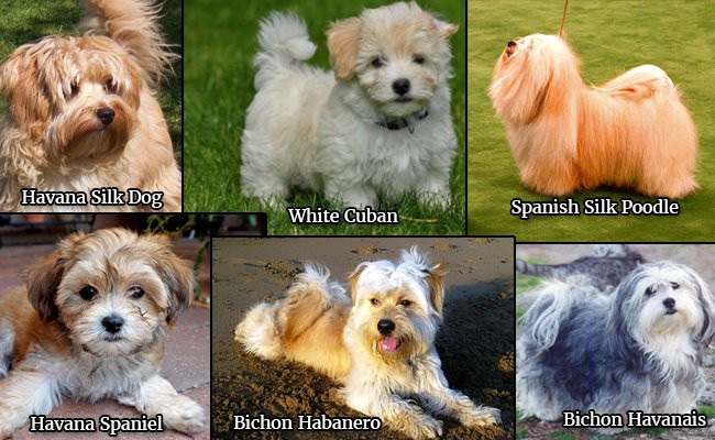havanese-dogs-types - Havanese Dogs Facts